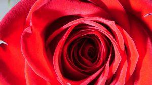 rose_red_rose_flower_petals-1343513.jpg!d
